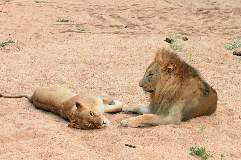 """Two lions at rest, digital photograph on stretched canvas 27""""x40"""" (c) 2011"""