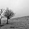 Double tree, black and white, Pitstone Hill, Ashridge, England, UK