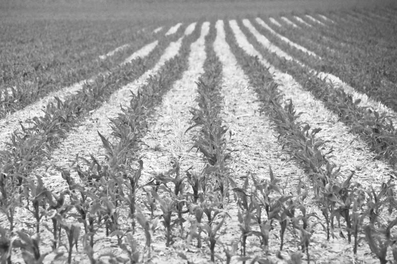Farm fields - cornrows in summer - 2