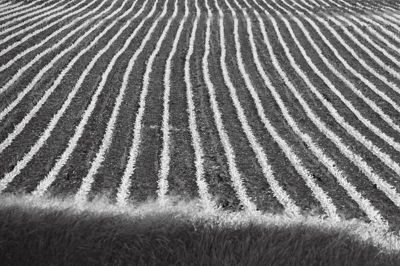 Farm fields - cornrows in summer - 1