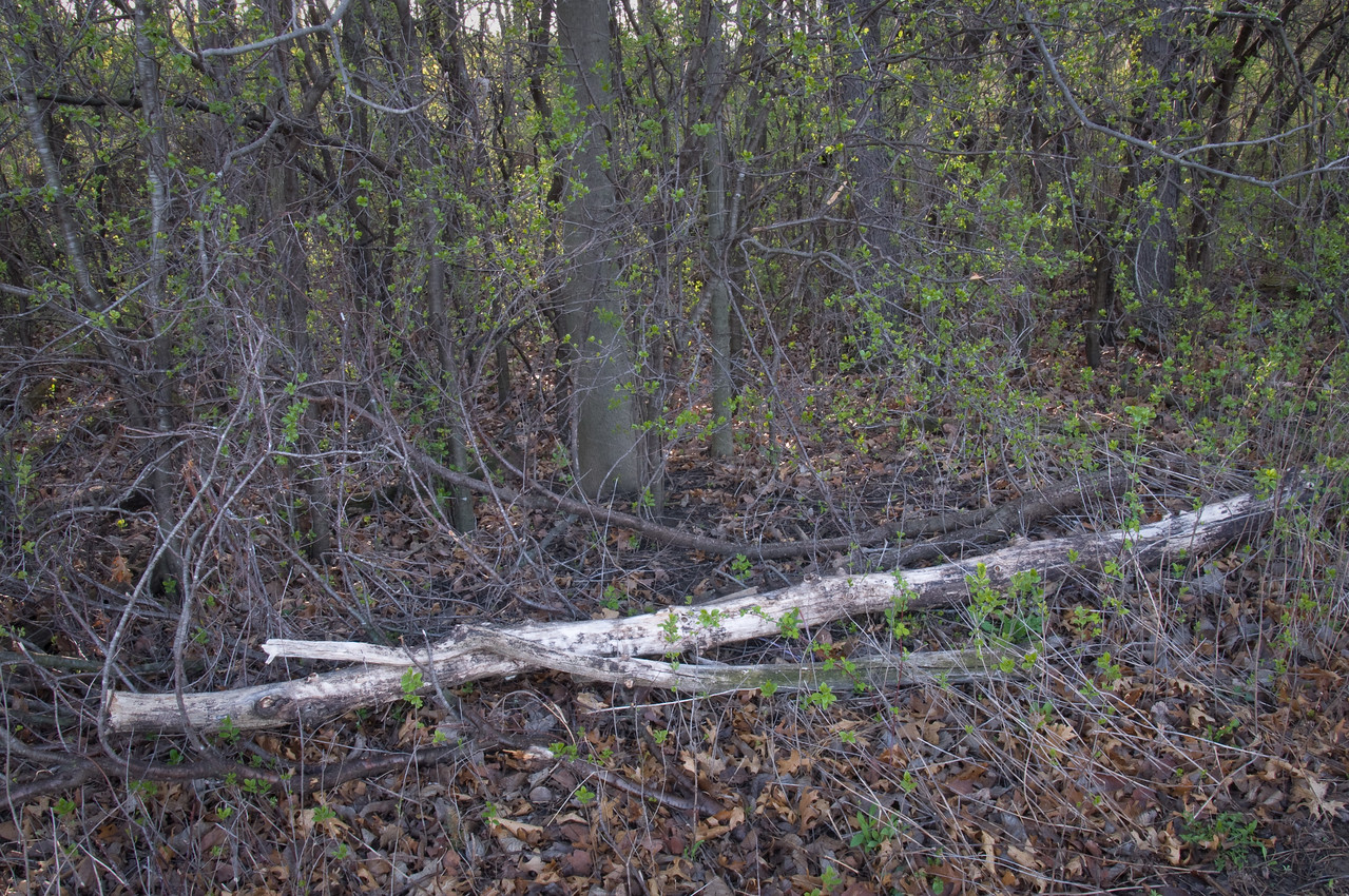 "Woods - ""strip"" woods - 1"