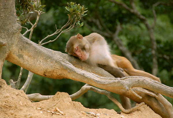 Resting macaque, Kam Shan Country Park, Kowloon