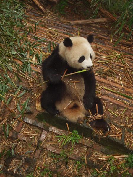 pandas02.jpg