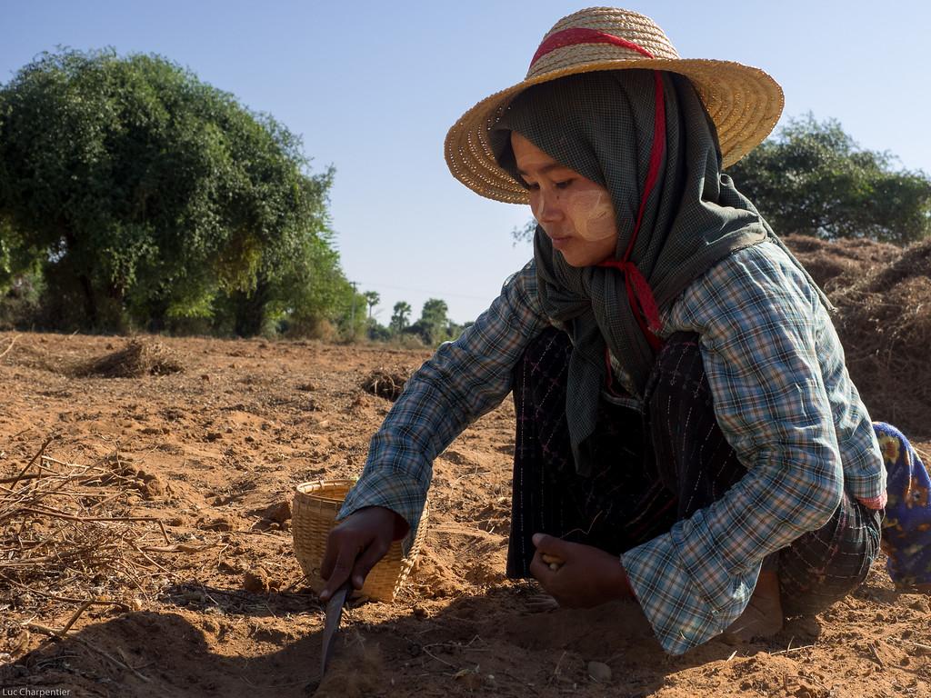 Woman harvesting peanuts