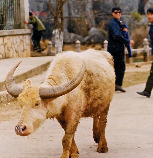 Albino water buffalo... rare