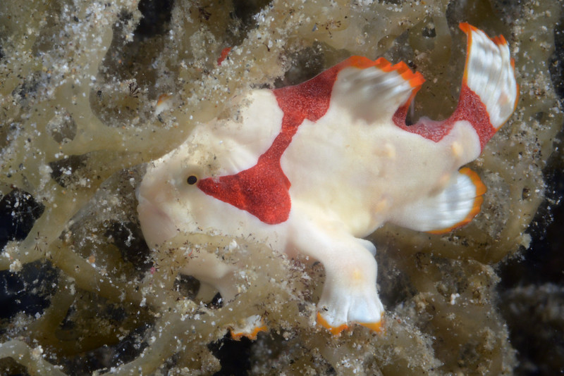 160409_Frogfish