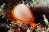 Cystiscus minutissimus, Minute margin shell