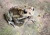 Nocturnal toad, Villa Markisa