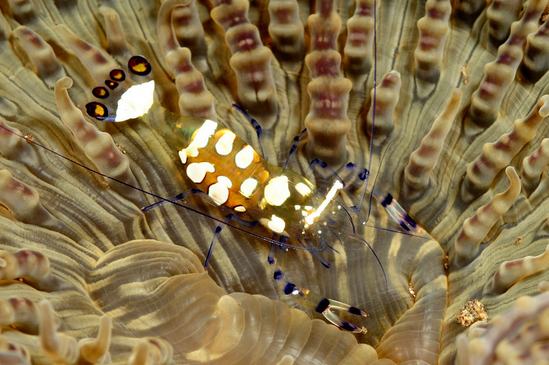 Shrimp: Periclimenes brevicarpalis, fried egg shrimp<br /> Tulamben, Bali, Indonesia<br /> ID thanks to Mary Wicksten