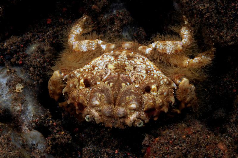 Crab<br /> Tulamben, Bali, Indonesia