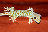 Gecko on ceiling