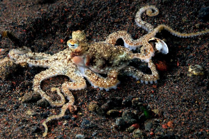 Octopus<br /> Tulamben, Bali, Indonesia