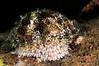 Cypraea caputserpentis<br /> ID thanks to Bob Abela