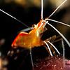 Shrimp: Lysmata amboinensis, scarlet cleaner shrimp.<br /> Bali, Indonesia.<br /> ID thanks to Dr. Mary Wicksten.