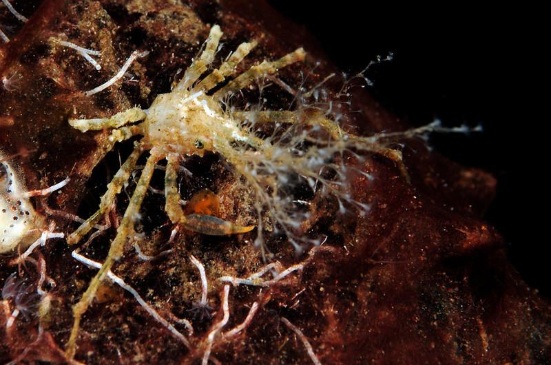 Crab: Hyastenus species<br /> Bali, Indonesia.<br /> ID thanks to Dr. Mary Wicksten.