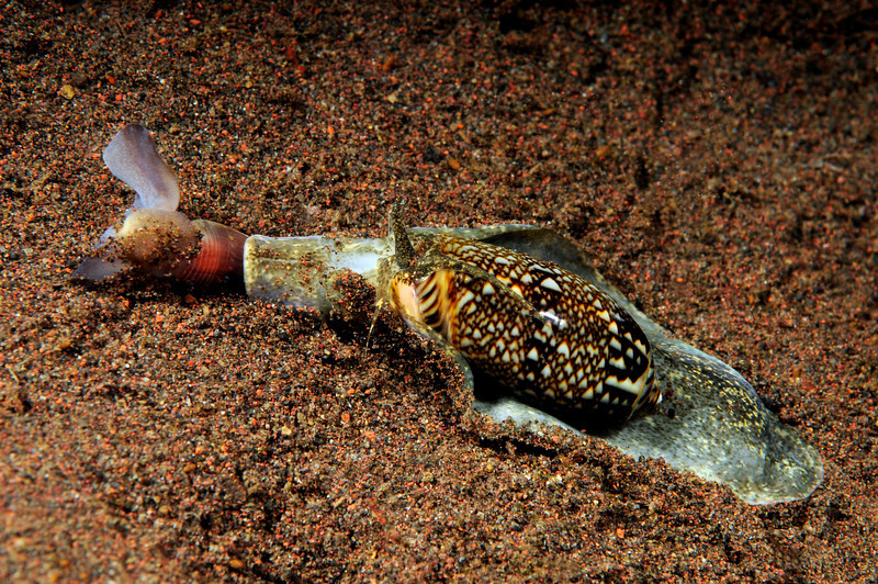 Atys cylindricus being attacked by a snail.  The Atys escaped by rapidly flapping its mantle and swimming away.<br /> Tumbalen, Bali, Indonesia