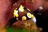 Colpodaspis thompsoni<br /> Tulamben, Bali, Indonesia