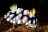 Chromodoris geometrica<br /> Tulamben, Bali, Indonesia