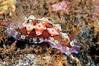 Dendrodoris denisoni<br /> Tumbalen, Bali, Indonesia