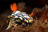 Hypselodoris nigrostriata<br /> Tulamben, Bali, Indonesia