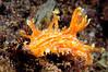 Kaloplocamus maru<br /> Tulamben, Bali, Indonesia<br /> ID thanks to Graham Abbott & David Behrens