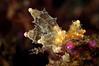 Eubranchus mandapamensis<br /> Tulamben, Bali, Indonesia