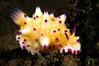 Mexichromis multituberculata<br /> Tulamben, Bali, Indonesia