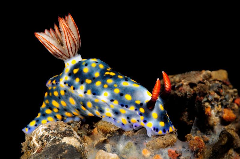 Hypselodoris kanga (?)<br /> Tulamben, Bali, Indonesia