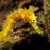 Seahorse_121001