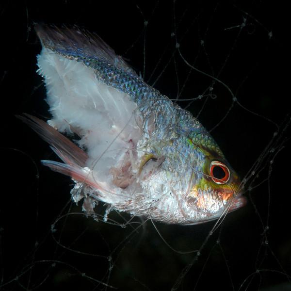 Fish in net, half eaten.  Night dive