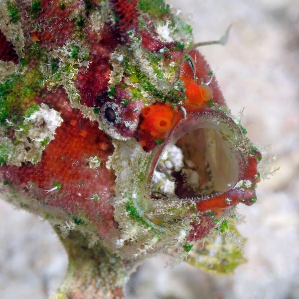 Frogfish_091216b