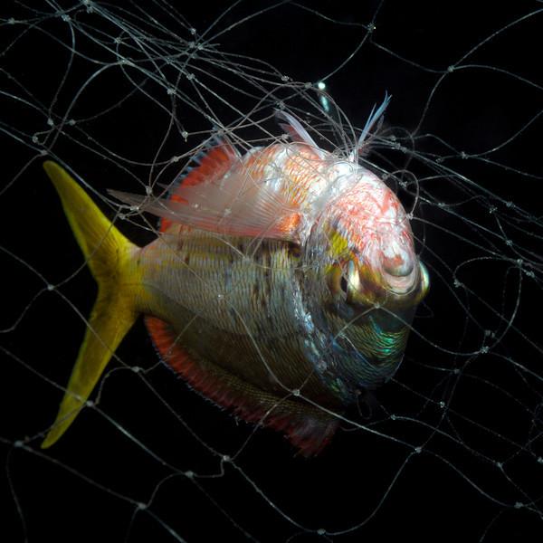 Fish in net, night dive