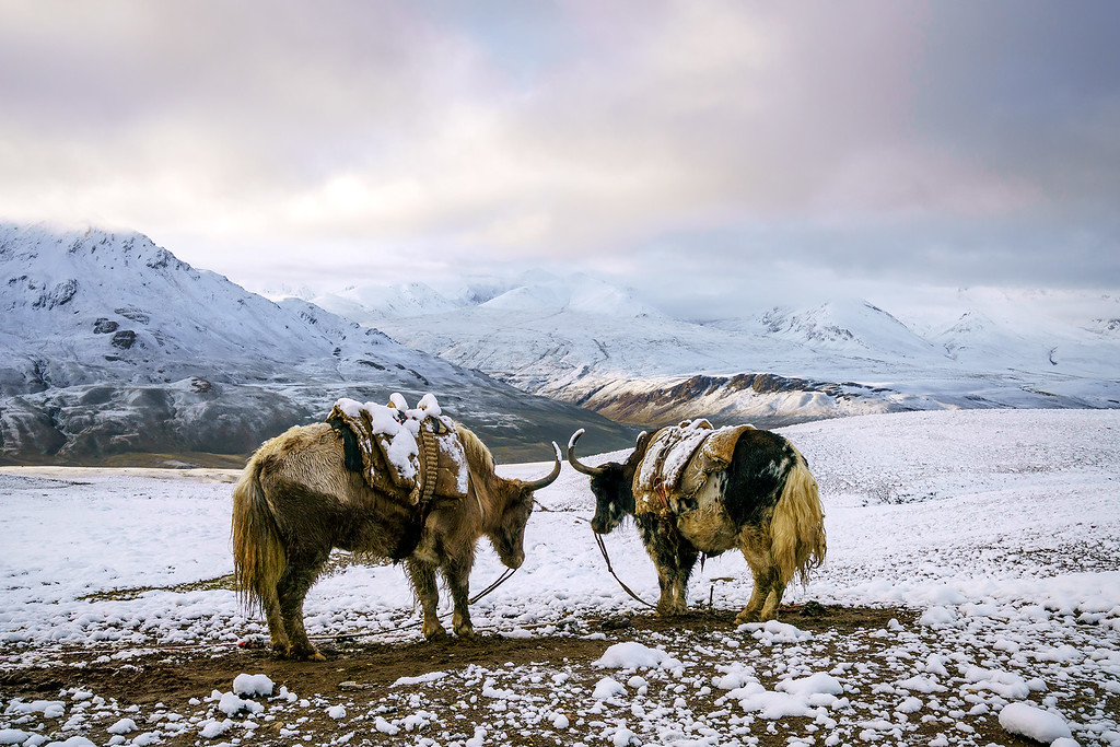 Yaks in the Snow