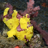 Frogfish<br /> Anilao, Philippines.
