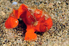 """Juvenile Frogfish with """"lure"""" deployed<br /> Anilao, Philippines"""