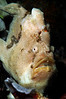 Frogfish_110413f