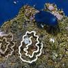 Doriopsis pecten?<br /> Anilao, Philippines