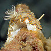 Glossodoris sp. 1<br /> Anilao, Philippines<br /> ID thanks to Christiane Waldrich