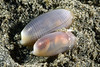 Atys cylindricus<br /> Anilao, Philippines