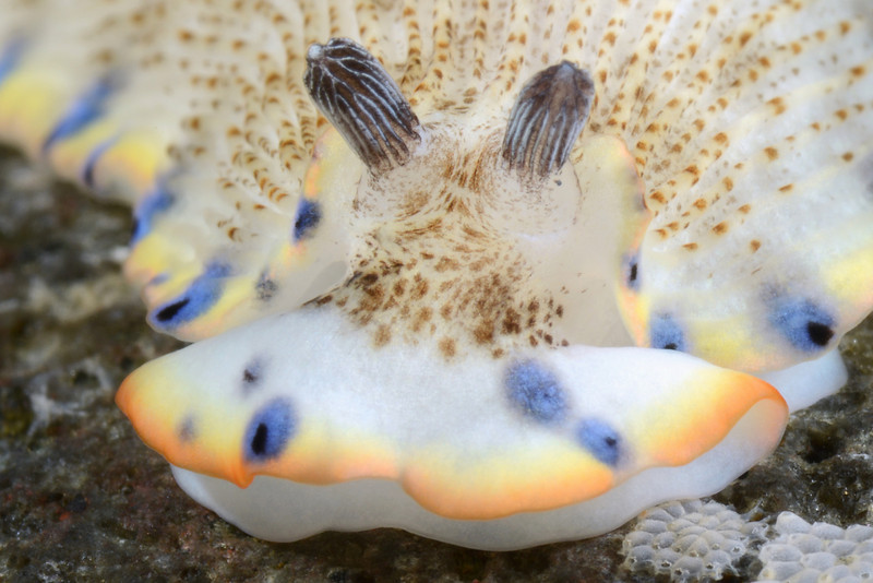 Dermatobranchus careomaculatus<br /> Anilao, Philippines