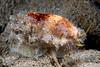 Cowry, Erronea caurica<br /> Anilao, Philippines<br /> ID thanks to Bob Abela
