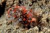Cypraeid, probably Erosaria labrolineata<br /> Anilao, Philippines<br /> ID thanks to Bob Abela