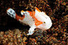 Frogfish, juvenile<br /> Tulamben, Bali, Indonesia
