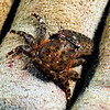 Crab: Petrolsithes sp., Porcelain crab, with one pincer lost. <br /> Bali, Indonesia.<br /> ID thanks to Dr. Mary Wicksten.