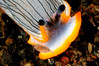 Dermatobranchus sp. 11, with copepod friend<br /> Tulamben, Bali, Indonesia