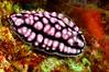 Phyllidiella pustulosa<br /> Tulamben, Bali, Indonesia
