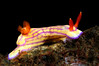 Hypselodoris whitei<br /> Tulamben, Bali, Indonesia