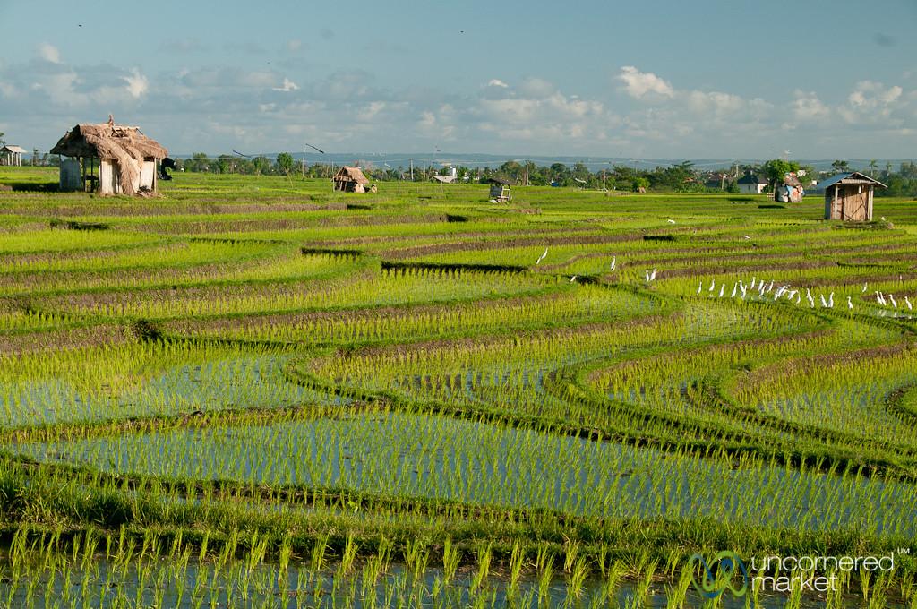 Terraced Rice Fields Outside Canggu - Bali, Indonesia
