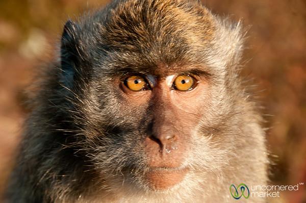 Inquisitive Monkey - Mt. Batur, Bali