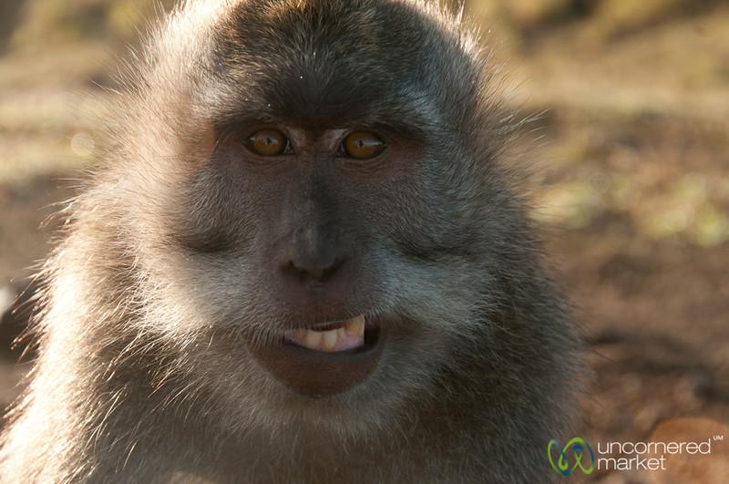 Monkey Tries to Smile - Mt. Batur, Bali